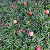 赤くて丸くて可愛い・・・ ヤマボウシの実 & チロリアンランプ