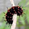 ツマグロヒョウモン 幼虫と蝶