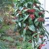 庭の赤い実、朝の庭仕事