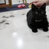 ブラッシング大好き、黒猫娘ミコ