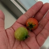 7月の野菜 ダイソーのミニトマト栽培記録