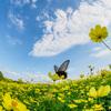昭和記念公園 花の丘に咲いた一面のキバナコスモス:レモンブライト