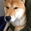 柴犬の去勢手術と料金