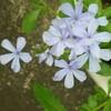 ルリマツリ咲く