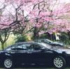 寒緋桜の無量寺でカムリを観察。暑くなる予感が!