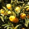 """橘2 """"イクメイリビコの大君(第11代 垂仁天皇 すいにんてんのう)が永久の命を得ることができると,タヂマモリに探させたトキジクノカクの実がタチバナ(橘)""""と古事記は記しています. トキジクノカクをようやく手に入れたタヂマモリが戻ってみると,派遣した天皇は亡くなっています.古事記では,タヂマモリが突然消滅してしまうという書き方で,""""常世の国""""という異界からこの世に戻ったタヂマモリは""""時間の違いに曝されて,そうなるしかなかった""""(三浦祐介)"""