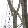 久しぶりにキセキレイとイカル(大阪城野鳥探鳥 20200201 6:40-12:15)