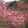 障子ヶ岳の桜、水仙や登山