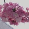 桃の花、楽しめます!(2021年3月31日)