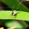 ワキグロサツマノミダマシとルリタテハ幼虫の脱皮殻