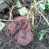 サツマイモを掘ってたら雨が降ってきて