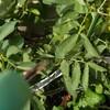 初めてのそら豆栽培 ずぼら流