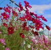 「佐久の季節便り」、「コスモス」の花が、秋風にそよぎ…。