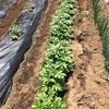 【農のある暮らし】市民農園、夏野菜の準備開始