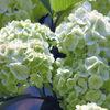 今日の誕生花「オオデマリ」アジサイのように目立たないが品がある花!