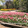 京都府立植物園のチューリップが見頃