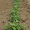 万田酵素散布と有機化成肥料888追肥