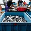 2021年7月6日 小浜漁港 お魚情報