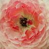 「春を告げる花」ラナンキュラス フェア(後編)