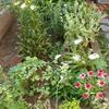 6月の花壇のようす