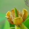 木に咲くチューリップ:シナユリノキ