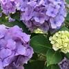 ノルディックウォーキングと紫陽花とテント、夏が大好きになれそうな私