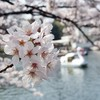 はな子とサクラ。@井の頭自然文化園ではな子が見た桜で花見する