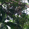 ランブータンと蚊と煙@フィリピン