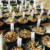 多肉植物の葉挿し どんどん増殖中
