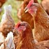 ニワトリは人生でどれぐらい卵を生むの?