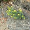 イワタイゲキ 岩に花が咲きました。