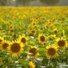 【那珂ひまわりフェスティバル】25万本ひまわり畑が咲き誇る