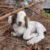 16匹の子ヤギの見分け方。16匹と強烈キャラの母ヤギの名前を一挙公開!!