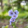 ヒマラヤの青いケシ メコノプシス ホリデュラ