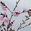 桜の花がちらほら咲き始めています。