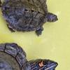 Reptiles ガレージセール 出品成体ご紹介 その28