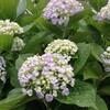梅雨入り直後の時期は、紫陽花(アジサイ)が3倍きれいに見える