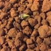 枝豆(黒豆)の土中緑化・第二弾
