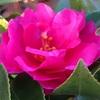 カンツバキ(寒椿)の花