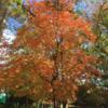 相模原市 中央区 中央公園の紅葉 (11月18日現在)