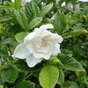 初夏と言えばこのお花 甘い匂いのクチナシとそれを利用するオオスカシバ