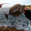 【グレ・フカセ釣り】土佐清水の磯でサンノジ三昧w厳しい日々は続きます。沖のフタツバエ(動画あり)