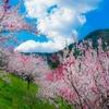 引地橋の花桃と健康について