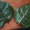 Couve  Manteiga(ケール)と、つるむらさき。