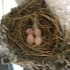 🐣ツバメの卵