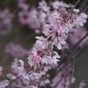 神戸)御影散歩。弓弦羽神社のしだれ桜がほぼ満開。SONY α5100+SIGMA 56mm F1.4。