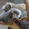コアラとサーバルの赤ちゃん、ウツボちゃん無事無事