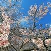 桜満開のオークランド!