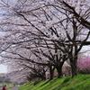 2021 八王子市 御陵公園の桜