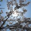 さらにさらに、満開の桜です🌸